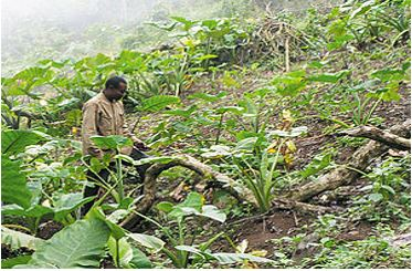 A farmer in his Cocoyam farm on the slopes of Mt. Cameroon forest reserve